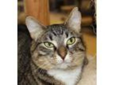 Adopt Eliza a Brown Tabby Domestic Shorthair / Mixed (short coat) cat in Spokane