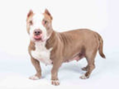 Adopt LILO a Brown/Chocolate Basset Hound / American Pit Bull Terrier / Mixed