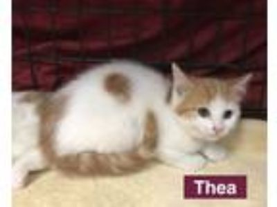 Adopt Thea a Domestic Short Hair