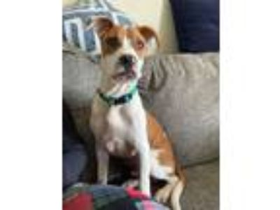 Adopt Lincoln a White - with Tan, Yellow or Fawn Boxer / Pit Bull Terrier /