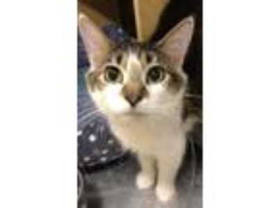 Adopt Cookie a Black & White or Tuxedo Domestic Mediumhair cat in Palatine