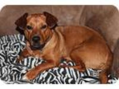 Adopt Bella Harper a Brown/Chocolate Dachshund / Corgi / Mixed dog in Breaux