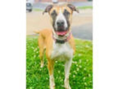 Adopt QUEENY a Tan/Yellow/Fawn - with Black Mastiff / Mixed dog in Olivette