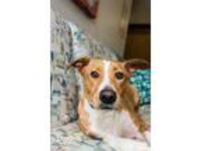 Adopt Queenie-121512L a Red/Golden/Orange/Chestnut Labrador Retriever / Mixed