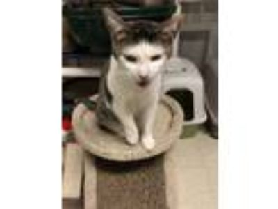 Adopt Layla a Domestic Short Hair