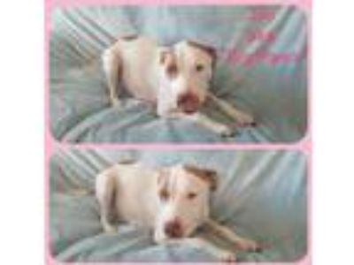 Adopt Joy a White - with Tan, Yellow or Fawn American Staffordshire Terrier /