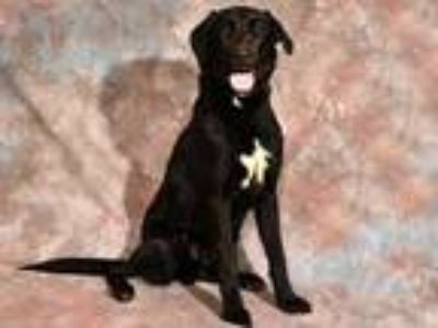 Adopt STAR a Black Labrador Retriever / Mixed dog in West Valley, UT (25555239)