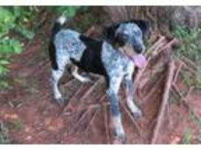 Adopt DIXIE a Beagle, Pointer