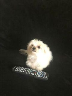 Maltese PUPPY FOR SALE ADN-108095 - TEACUP Maltese male