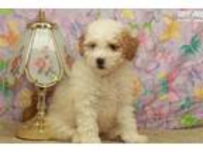 Red and White Female Toy Poodle #9