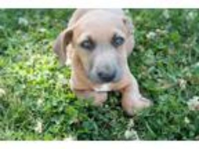 Adopt Gras a Brown/Chocolate - with White Jack Russell Terrier / Dachshund /