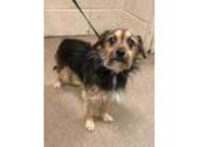 Adopt Bailey a Brown/Chocolate Terrier (Unknown Type, Small) / Mixed dog in