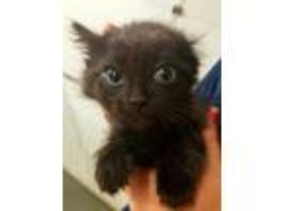 Adopt Howie a All Black Domestic Shorthair / Domestic Shorthair / Mixed cat in