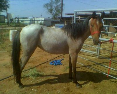 Red roan filly for sale