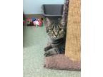 Adopt Jinx a American Shorthair, Domestic Short Hair