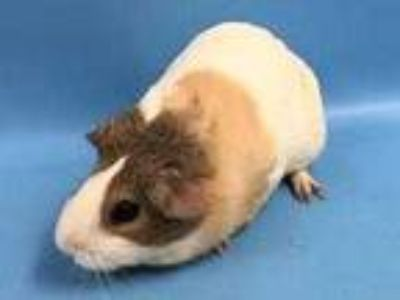 Adopt Ivy a White Guinea Pig / Mixed small animal in Woodbury, MN (25937855)