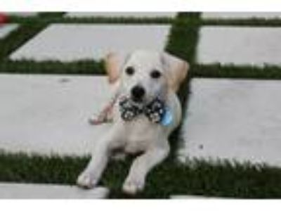 Adopt Asher Rico a White Terrier (Unknown Type, Medium) / Mixed dog in Fort