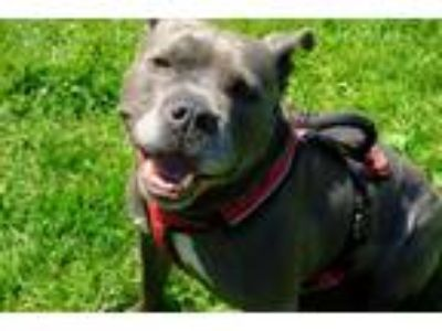Adopt Irma a Pit Bull Terrier