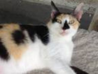 Adopt CALI a Calico or Dilute Calico American Shorthair / Mixed cat in Port St