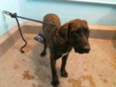 Adopt SOPHIE a Brindle Labrador Retriever / American Pit Bull Terrier / Mixed