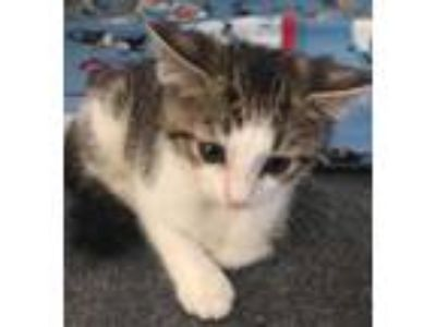 Adopt Daphne a White Domestic Shorthair / Domestic Shorthair / Mixed cat in