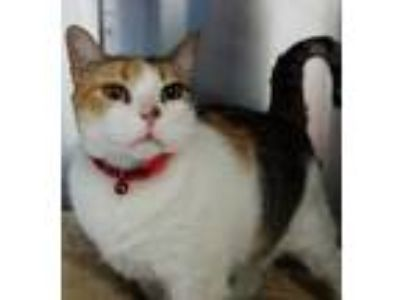 Adopt Candy a White Domestic Shorthair / Domestic Shorthair / Mixed cat in