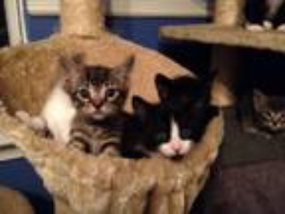Adopt Kittens Various a American Shorthair, Domestic Medium Hair