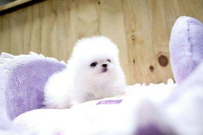 Breath Taking Pomeranian Puppy
