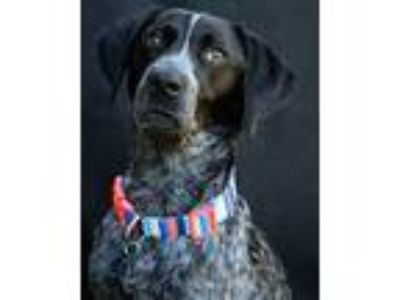 Adopt Royal a Pointer / Mixed dog in Novato, CA (25366815)