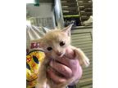 Adopt Dominos a Cream or Ivory Domestic Mediumhair / Domestic Shorthair / Mixed