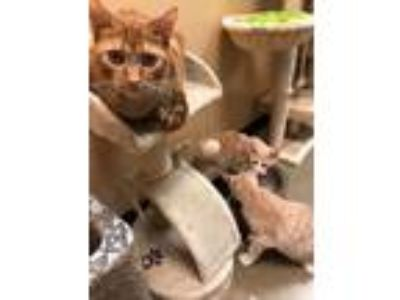 Adopt Petsmart Mcdonough 24/7 Kitties a Domestic Short Hair