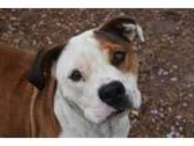 Adopt JAKE a Red/Golden/Orange/Chestnut - with White American Pit Bull Terrier /