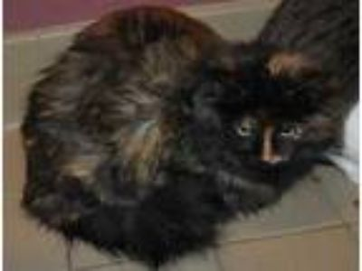 Adopt Jenny a All Black Domestic Longhair / Domestic Shorthair / Mixed cat in