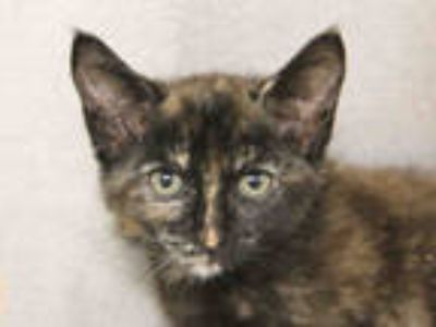 Adopt ABBIE a Brown or Chocolate (Mostly) Domestic Shorthair / Mixed (short