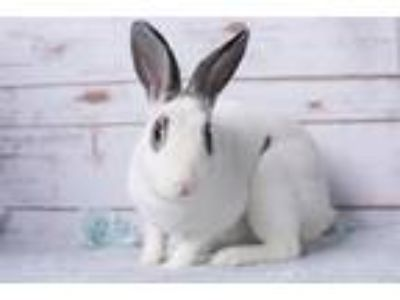 Adopt Pacifica a White Mini Rex / Mixed (short coat) rabbit in Los Angeles
