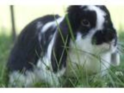 Adopt Poppy a Black Lop, French / Mixed (short coat) rabbit in White Plains