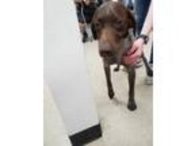 Adopt ADOPTED a Brown/Chocolate German Shorthaired Pointer / Mixed dog in Fort