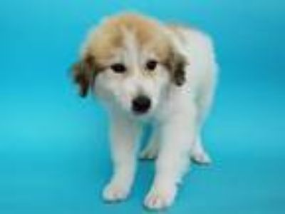 Adopt LOVE a White - with Tan, Yellow or Fawn Great Pyrenees / Mixed dog in St.