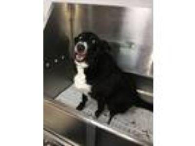 Adopt Prince a Black - with White Labrador Retriever / Border Collie dog in