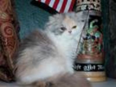 CFA Persian Kitten Rare Dilute Calico