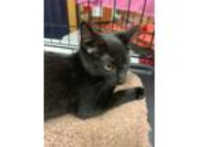 Adopt Panther a All Black American Shorthair (short coat) cat in Wilmington