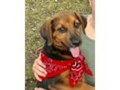 Adopt David a Brown/Chocolate - with Black Shepherd (Unknown Type) / Beagle /