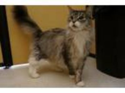 Adopt Chippy a Maine Coon