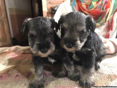 Miniature Schnauzer puppies HYPOALLERGENIC