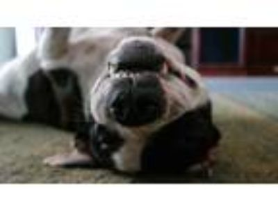 Adopt Zorro a Black - with White American Staffordshire Terrier / American