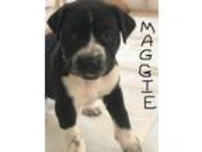 Adopt Maggie a Black - with White Labrador Retriever / Mixed dog in Pompano