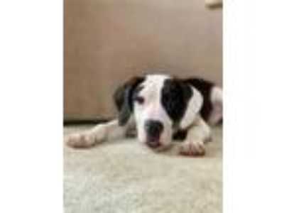 Adopt HANK a Black - with White Bluetick Coonhound / Mixed dog in Brewster
