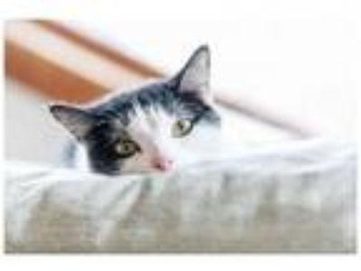 Adopt Valentina a Domestic Short Hair