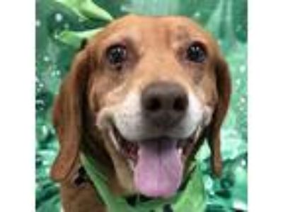 Adopt Henry a Beagle / Hound (Unknown Type) / Mixed dog in Newington