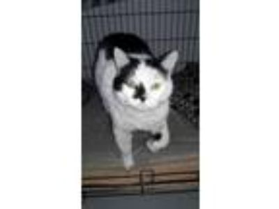Adopt ZCL Joey a Domestic Short Hair